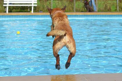 Hund som hopper i utebasseng