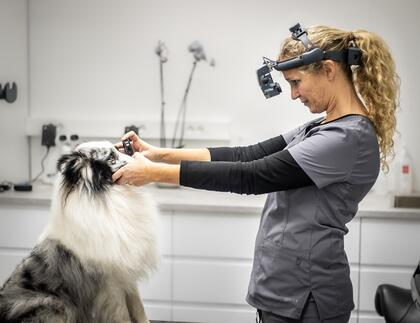 Veterinær gjennomfører øyelysingsundersøkelse på hund
