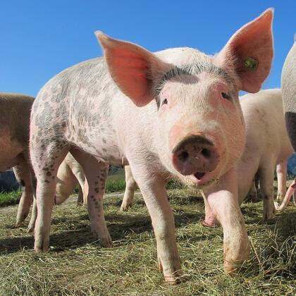 Forskriftsfestet dyrevelferdsprogram for svin