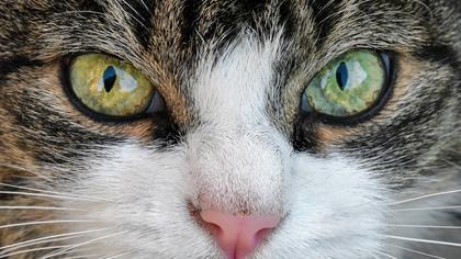 Nærbilde av katt