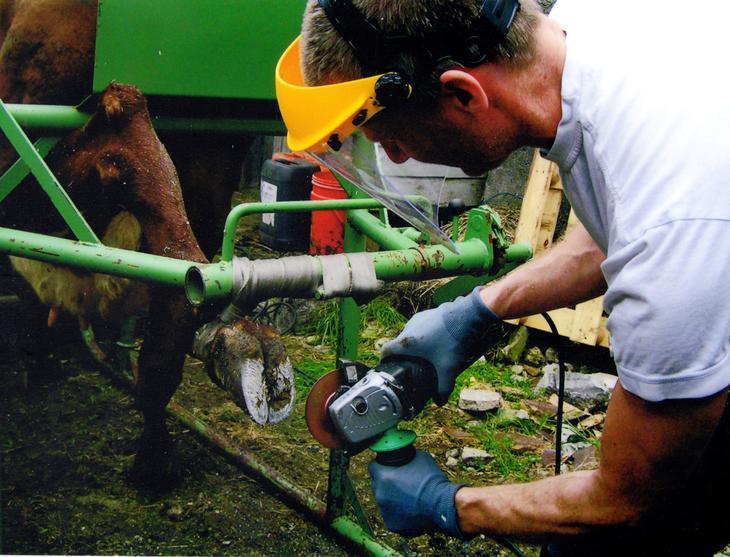 Petter Rokstad utfører klauvskjæring på ku