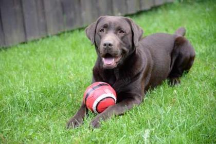 hund med ball