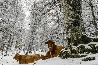 Kuer i snø